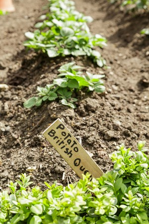 kitchen garden: A row of potato plants growing in a kitchen garden