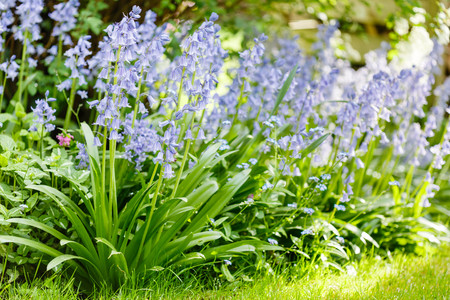 european: Bluebells in a garden border flower bed