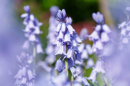 Bluebell květiny detailní v modré zvonové zahradě