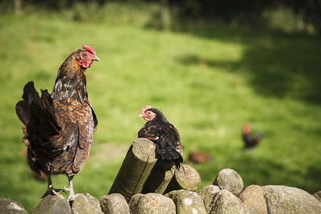 Brood of free range bantam chickens roam in a small holding Stock Photo