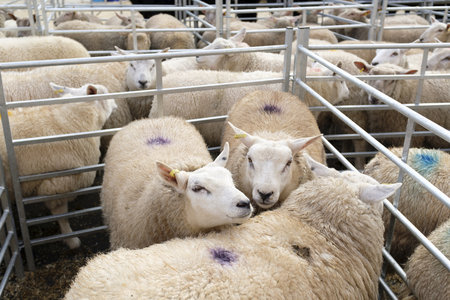 Winslow, UK - November 26, 2018. Sheep are held in pens at the Winslow Primestock Show. The show is an annual event held in the historic market town in Buckinghamshire 에디토리얼