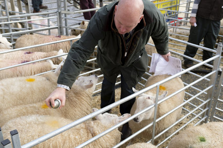 Winslow, UK - November 26, 2018. Sheep are marked with spray paint after being sold by auction at the Winslow Primestock Show. The show is an annual event held in the historic market town in Buckinghamshire