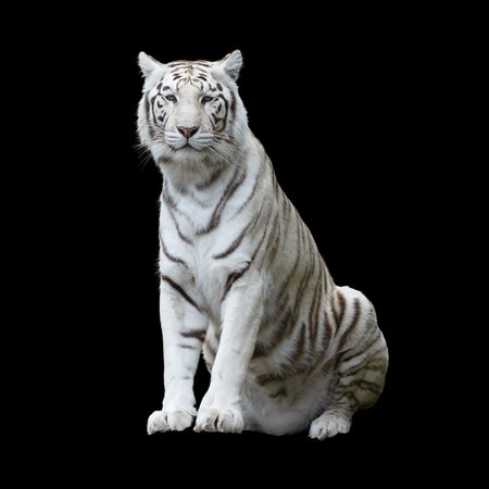 White tiger, a variant of the Bengal tiger, isolated and cutout with clippling path against a black background 스톡 콘텐츠