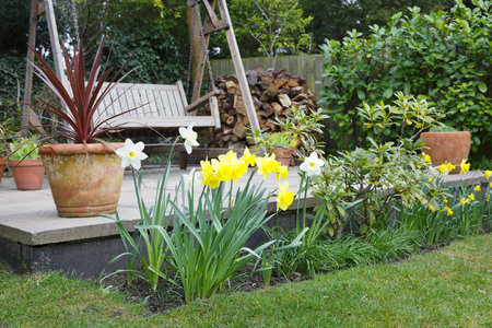Daffodils in a garden flower bed in spring in front of a patio with a swing bench