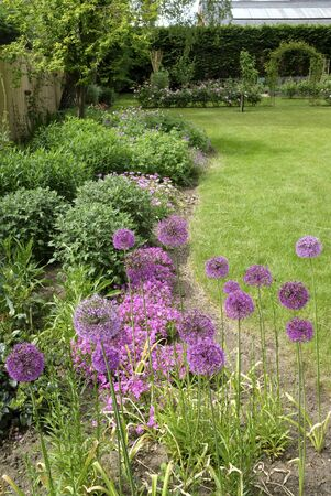 Allium flowers purple sensation in a flower bed of a typical English garden