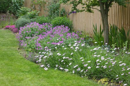 Garden flower bed (flowerbed) with cape daisies and geraniums in a typical English garden Stok Fotoğraf