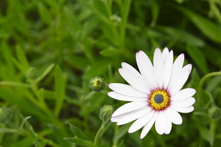 White cape daisy flower, Osteospermum, with green foliage and lots of space for text, ideal for a template, design or background