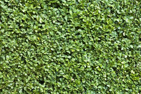 Buxus sempervirens detail, common box or boxwood background 写真素材