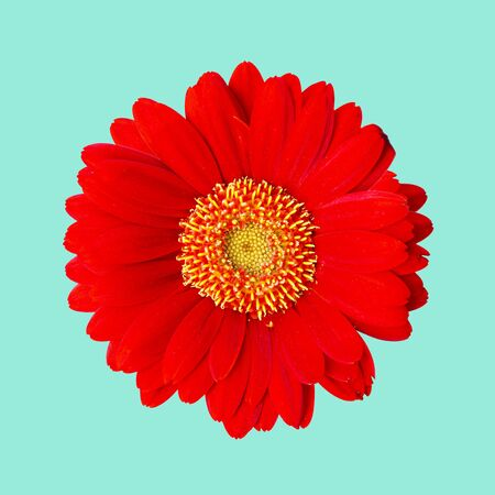 Red gerbera isolated on a blue background with clipping path