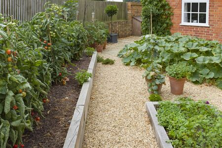 Growing herbs and vegetables, including tomatoes, in a small Victorian kitchen garden
