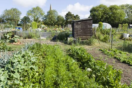 Growing vegetables in allotments, community gardens in England, UK