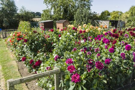 Allotment, community garden with dahlia flowers and sheds, UK