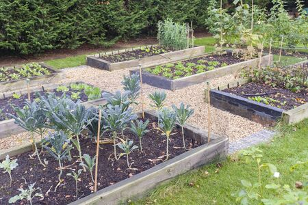 Vegetable garden raised beds made from timber sleepers. Kale (brassica) is growing in the foreground, UK Foto de archivo