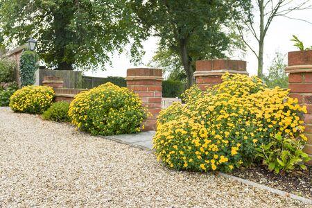 Chrysanthemum perennial plants, (hardy mums,) with yellow flowers, in an English garden border in Autumn, UK Foto de archivo