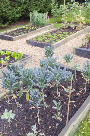 Vegetable garden with raised beds in Autumn. Kale (brassica) is growing in the foreground, UK Standard-Bild