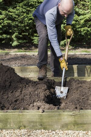 Man gardening, gardener digging a trench in a raised vegetable bed in a garden, UK
