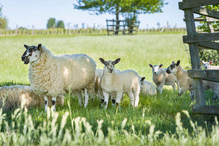 Female sheep (ewe) and young lambs in a field in Buckinghamshire countryside, UK