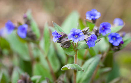 Pulmonaria blue ensign flowers, lungwort plant in bloom, UK