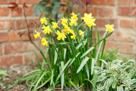 Yellow dwarf daffodils, narcissi tete a tete in a spring flowerbed, UK