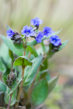 Lungwort or pulmonaria blue ensign in flower, pulmonaria angustifolia plant, UK