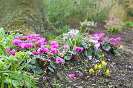 Pink cyclamens in flower, cyclamen coum in a garden border, UK