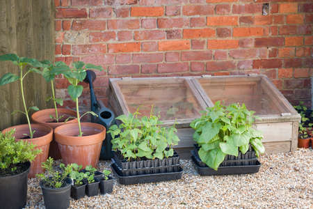French beans and runner beans in root trainers outside a cold frame, growing vegetables in a garden in England, UK