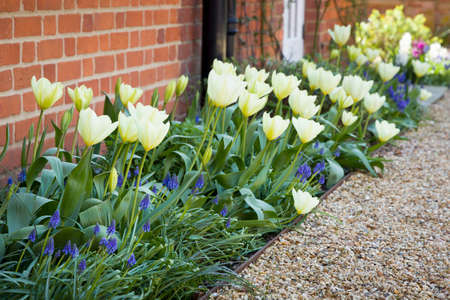 Tulips and muscari (grape hyacinth) growing in a garden flowerbed, spring flower bed, UK Archivio Fotografico