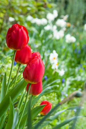 Tulips (tulipa) and daffodil flowers in a garden flower bed, UK