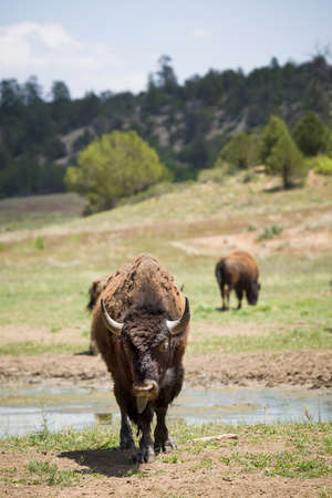 American bison or buffalo, looking straight on at a farm in Utah, USA