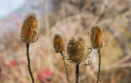 Dry thistle in the field defies the autumn and the coming winter, nature background Stock Photo
