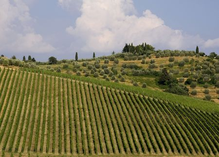 Neat rows of vines in a Tuscan vineyard with olive trees in the background photo
