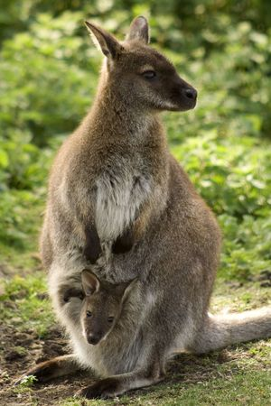 Mother wallaby with small  in her pouch photo