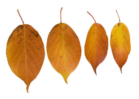 arranged: Four orange autumn leaves arranged as if they are hanging from the top of the photo on a white background Stock Photo