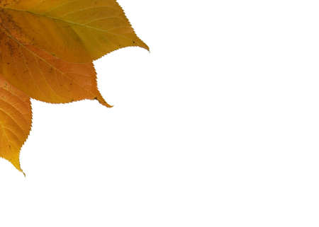 Three autumn leaves arranged in the top left corner on a white background photo