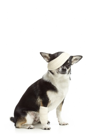 animal leg: Injured chihuahua dog with bandages on white background