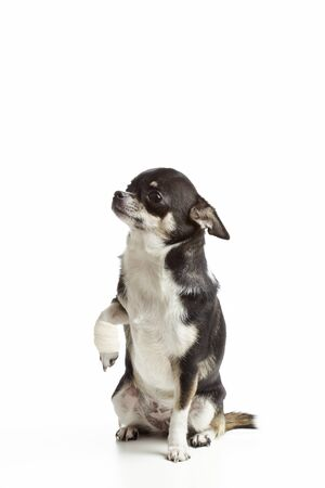 Injured chihuahua dog with bandages on white background photo