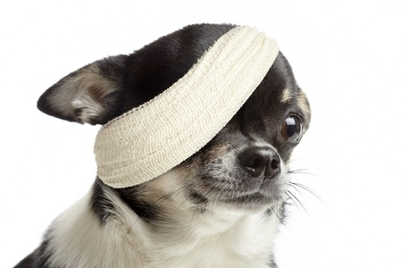 Gewonde chihuahua hond met bandages op een witte achtergrond Stockfoto