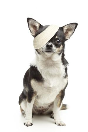 Gewonde chihuahua hond met pleisters op een witte achtergrond Stockfoto