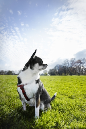 Chihuahua sitting in field looking pensive with copy space Stock Photo - 19356067