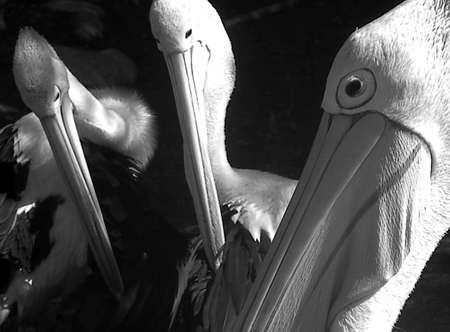 a group of pelicans faces photo