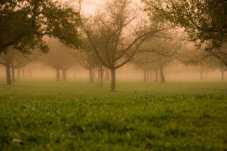 Foggy Orchard photo