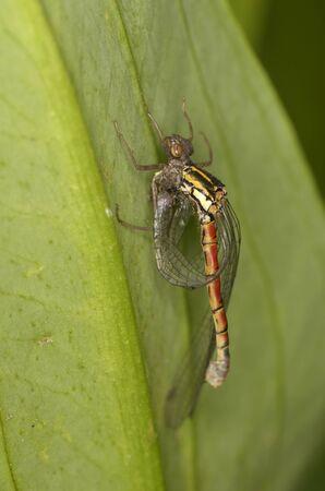 vulgatum: dragonfly sympetrum vulgatum, eclosion, closeup, flash, outdoor Stock Photo