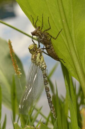 the larvae: recently hatched dragonfly aeshna cyanea sitting on its exuvia on a green leave near water, closeup, flash, outddor Stock Photo