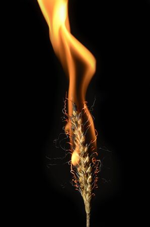 closeup of burning ear of corn, studio shot, black background photo