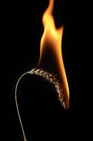 closeup of burning ear of corn, studio shot, black background Stock Photo - 15057553
