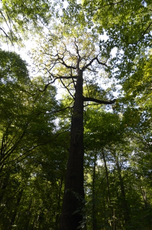alluvial: oak in alluvial forest, daylight, wide-angle Stock Photo