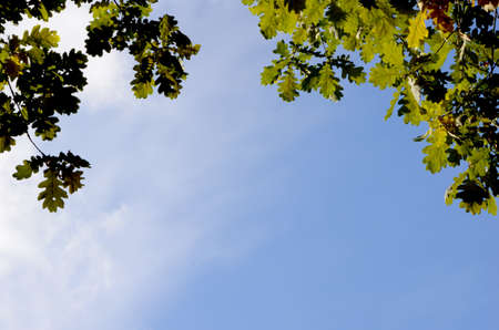 late summer: oak leaves in autumn, sky background, daylight
