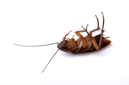 Dead Cockroach, isolated, studio shot photo