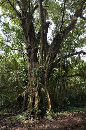 fused: Tree in Cameroonian Rainforest, Mount Cameroon, December 2012