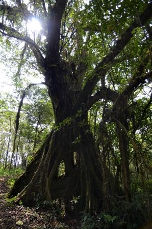 cameroonian: Tree in Cameroonian Rainforest, Mount Cameroon, December 2012
